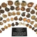 Mini Ammonite Pairs
