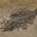 Priscacara Fish Fossil Plate ~26x20cm