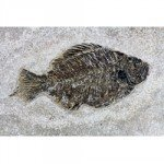Priscacara Fish Fossil Plate - 27cm
