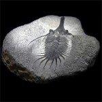 Psychopyge Elegans Fossil Trilobite - 110mm