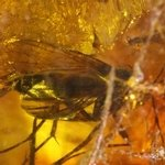 Baltic Amber Specimen ~26mm with Fossil Fly