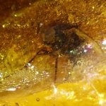 Baltic Amber Specimen ~25mm with Fossil Fly