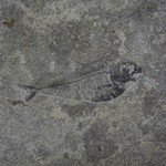 Diplomystus Fish Fossil Plate ~ 27cm
