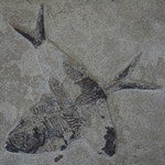 Diplomystus Fossil Fish Plate ~27x22cm