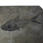 Fossil Fish Plate - Diplomystus ~27x17cm