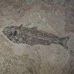 Fossil Fish Plate - Knightia Eocena ~27x21cm