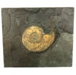 Harpoceras Fossil Ammonite Plaque ~23.5cm