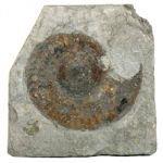 Hildoceras Fossil Ammonite Plaque ~11cm