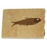 Knightia Fossil Fish Plate ~ 13cm x 10cm