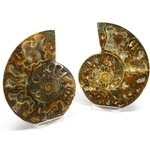Madagascan Ammonite Fossil Pair ~12.5cm