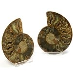 Madagascan Ammonite Fossil Pair (with exterior Suture definition) ~9cm