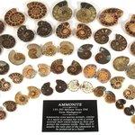 Mini Ammonite Pairs