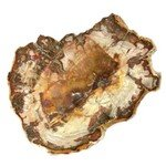 Petrified Wood Polished Slice ~13cm