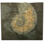 Phylloceras Fossil Ammonite Plaque ~16.5cm