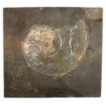 Phylloceras Fossil Ammonite Plaque ~24.5cm