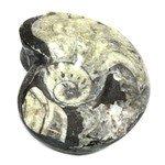 Polished Goniatite Fossil ~ 9.5cm