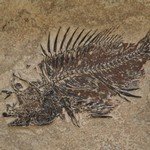 Priscacara Fish Fossil Plate ~26x20cms