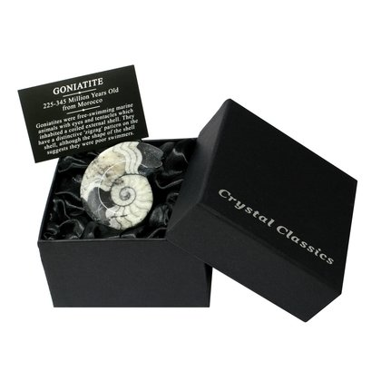 Goniatite Fossil Gift Box - Small