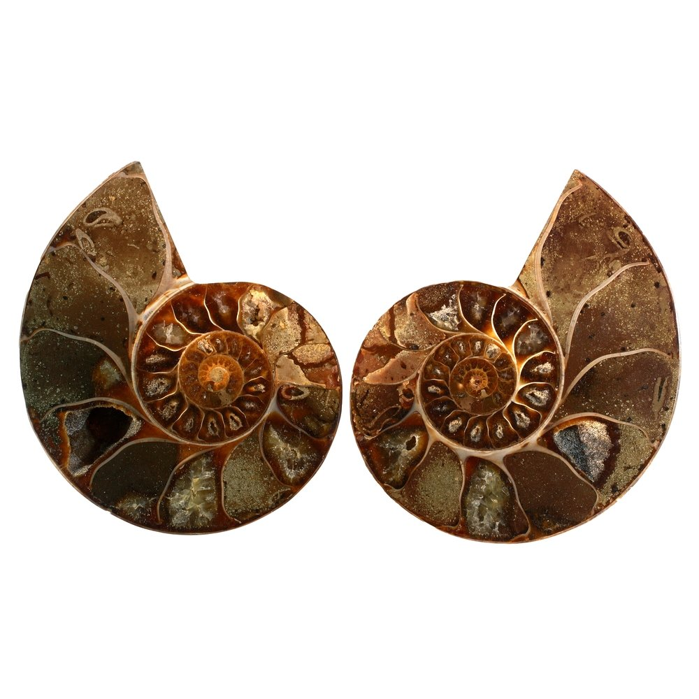 Madagascan Ammonite Fossil Pair (with ...
