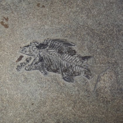 Priscacara Fish Fossil Plate ~26x21cms