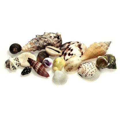Seashell Collection (Pack of 12)